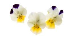 Geïsoleerde viooltjebloem royalty-vrije stock afbeelding
