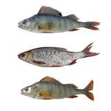 Geïsoleerde vissen Stock Foto's