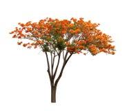 Geïsoleerde Vlamboom op witte achtergrond Royalty-vrije Stock Foto's