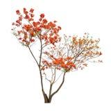 Geïsoleerde vlamboom zonder bladeren op witte achtergrond Stock Fotografie