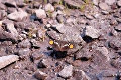 Geïsoleerde vlinder op stenen met vleugels brede open royalty-vrije stock fotografie