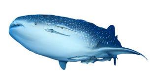 Geïsoleerde walvishaai stock afbeeldingen