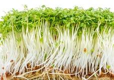 Geïsoleerde Witte waterkersspruiten Royalty-vrije Stock Foto
