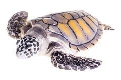 Geïsoleerde Zeeschildpad Royalty-vrije Stock Foto
