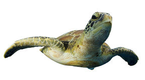 Geïsoleerde zeeschildpad royalty-vrije stock afbeeldingen