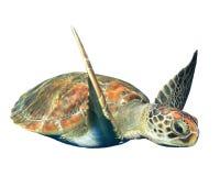 Geïsoleerde zeeschildpad Stock Foto's