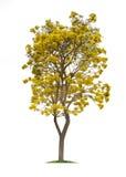 Geïsoleerde Zilveren trompetboom of Gele Tabebuia op witte achtergrond Royalty-vrije Stock Foto's