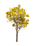 Geïsoleerde Zilveren trompetboom of Gele Tabebuia op witte achtergrond Stock Foto's