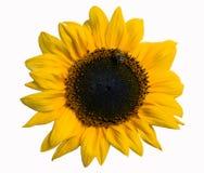 Geïsoleerde zonnebloem Royalty-vrije Stock Foto