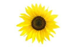 Geïsoleerde zonnebloem Royalty-vrije Stock Fotografie