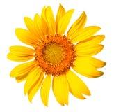 Geïsoleerde zonnebloem op de witte achtergrond. Stock Foto's