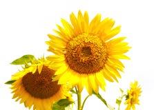 Geïsoleerde zonnebloemen Stock Foto