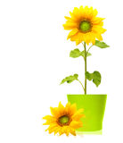 Geïsoleerde zonnebloeminstallatie Stock Fotografie