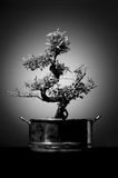 Geïsoleerde zwart-witte Aziatische stijlbonsai stock foto's