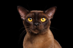 Geïsoleerde zwarte van Cat Curious Looking van het close-upportret de Birmaanse in camera royalty-vrije stock foto's