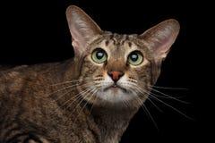 Geïsoleerde Zwarte van Cat Looking van het close-upportret de Oosterse in camera stock afbeelding