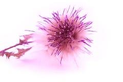 Geïsoleerde0 roze bloem Stock Afbeelding