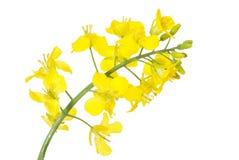 Geïsoleerdea bloem van een raapzaad, stock afbeelding