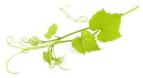 Geïsoleerdea de bladeren van de druif Stock Afbeeldingen