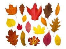 Geïsoleerdea de herfstbladeren Stock Fotografie