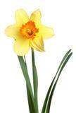 Geïsoleerdea gele narcis Royalty-vrije Stock Afbeeldingen