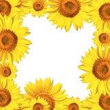 Geïsoleerdea het frame van zonnebloemen Stock Foto's