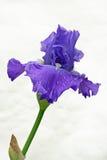 Geïsoleerdea iris Royalty-vrije Stock Foto's