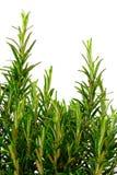 Geïsoleerdea rozemarijnstruik Stock Foto