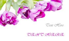 Geïsoleerdea tulpen Royalty-vrije Stock Afbeeldingen