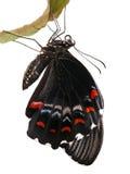 Geïsoleerdea Vlinder Royalty-vrije Stock Fotografie