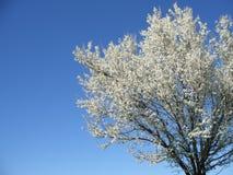 Geïsoleerdea witte tot bloei komende kersenboom in een de lentemiddag, cro Royalty-vrije Stock Fotografie