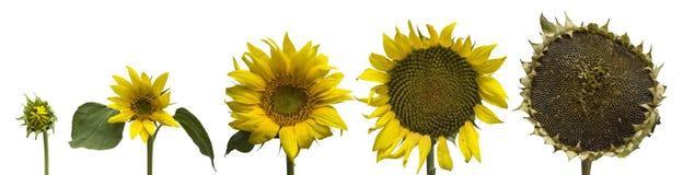 Geïsoleerdea zonnebloemgeneraties Stock Foto's