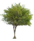 Geïsoleerdeb olijfboom royalty-vrije stock foto