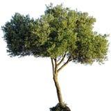 Geïsoleerdeb olijfboom Royalty-vrije Stock Afbeelding
