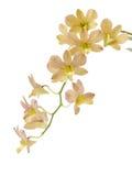 Geïsoleerdeb orchidee royalty-vrije stock foto's