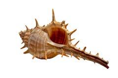 Geïsoleerdec overzeese shell Royalty-vrije Stock Fotografie