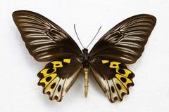 Geïsoleerdec vlinder Stock Foto's