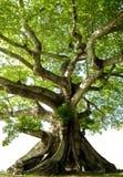 Geïsoleerded boom Stock Afbeelding