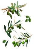 Geïsoleerded takken van olijfboom Stock Afbeeldingen