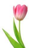Geïsoleerded tulp [het knippen weg] Royalty-vrije Stock Foto's