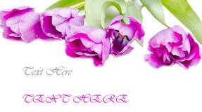 Geïsoleerded tulpen Royalty-vrije Stock Foto's