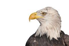 Geïsoleerdee adelaar Stock Afbeeldingen
