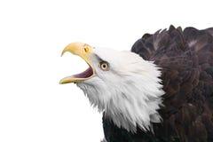 Geïsoleerdee adelaar Stock Fotografie