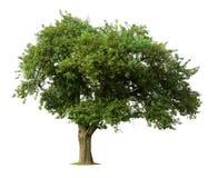 Geïsoleerdee appelboom Royalty-vrije Stock Afbeelding