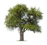 Geïsoleerdee appelboom Stock Fotografie