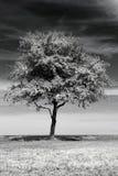 Geïsoleerdee boom Stock Afbeelding