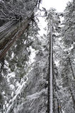 Geïsoleerdee boom die door sneeuw tegen hemel wordt behandeld Stock Afbeelding