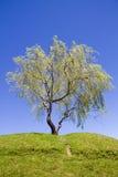 Geïsoleerdee boom op een heuvel met voetpad Stock Afbeeldingen