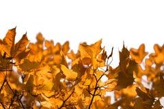 Geïsoleerdee de bladeren van de esdoorn Stock Fotografie