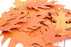 Geïsoleerdee de bladeren van de herfst Stock Fotografie